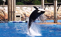 Orca jumping at SeaWorld image